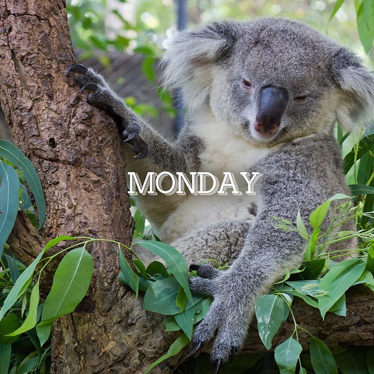 The #Monday after a holiday weekend. #EnoughSaid #Cuipo #SaveRainforest #koala