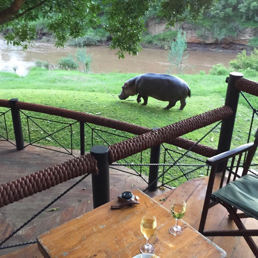 Wine, hippo and chill. Wildlife view whilst having some wine with my wife. #hungryhippo #drinkingbuddy #standardbarguest #Kenya #GovernorsCamp