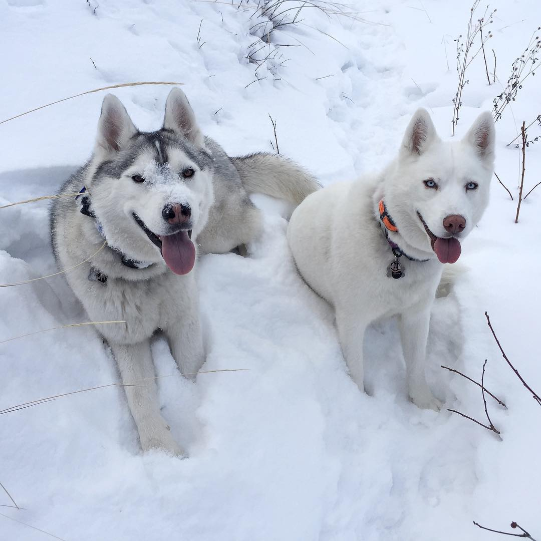 Mid-hike photo of our two snow loving fur beasts. They seem to be better equipped than me for running fast in the snow, ha. Hard to keep up with them today! #fourpawdrive #snowyfurbeasts #BentleyChickenFingersBlock #YukiTheDestroyer