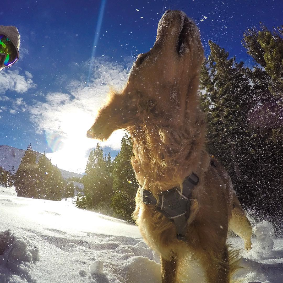 GoPro Featured Photographer - @PeterMorning  About the Shot: As I was skiing around @MammothMountain looking for some shoot locations, I saw Duke, our #ski patrol dog, who always puts a smile on my face. Duke was doing his weekly #avalanche training...