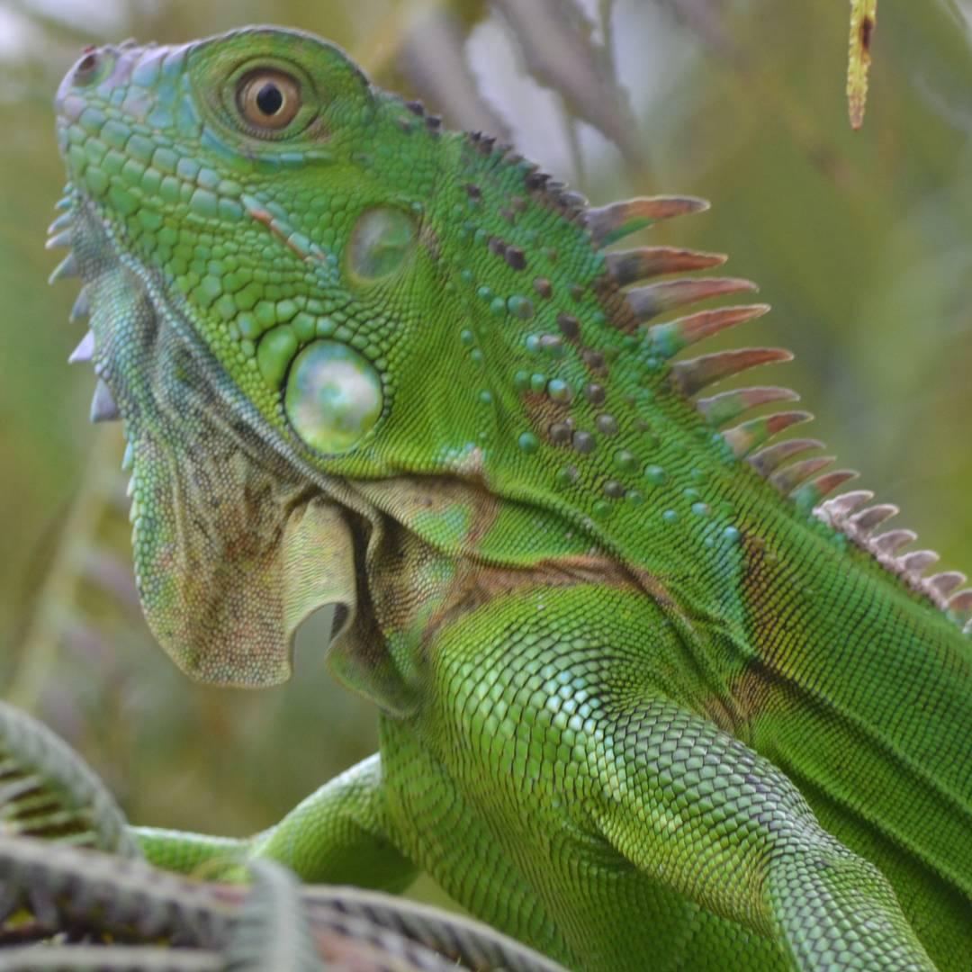Donovan le dijo a Willy: Che... presentame a tu amiga, la que esta tomando sol!  #animal #all_my_own #ig_merida #ig_great_pics #beautiful #big_shotz #reinoanimal #ig_exquisite #estaes_animal #iguana #verde #costarica #descubrecostarica #ig_reptiles...