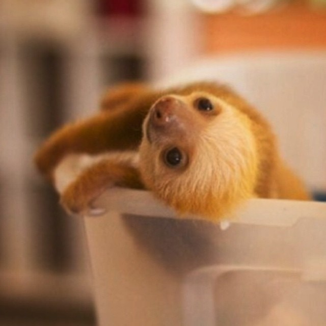 Baby sloth sunday. #sloth #slothsunday #saverainforest #cuipo