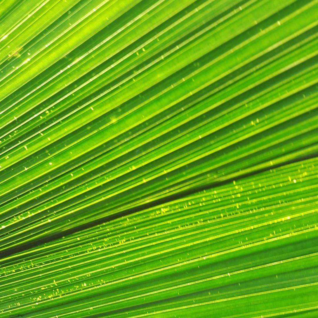 Utilizo esta foto como fondo de pantalla para mi celular... me gusta el verde, mas si es natural. #all_my_own #fondodepantalla #relax #verde #green #tranquilidad #hojapalmera #naturaleza #beautiful #creacion #d3100 #fotografia #great_captures_nature...