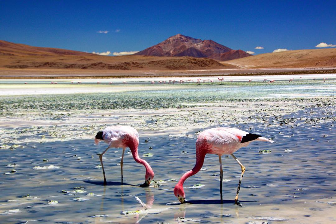 Who knew there were flamingos at 15,000ft? #bolivia #altitudesickness