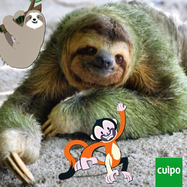 Happy St. Patricks day!!!! #stpatricksday #cuipo #sloth #saverainforest