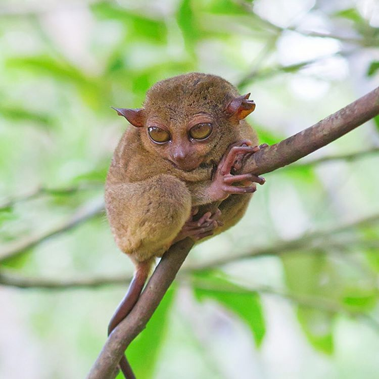 The Philippine tarsiers are the smallest primate in the world (ranging from 3-6 inches in height!) with the biggest eyes relative to their body size. Their ability to turn its head 180 degrees helps it find insects to munch on while their fully...