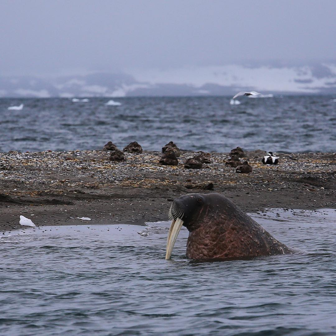 Liz Teague snapped this photo of a walrus off the coast of Svalbard while gathering samples for ASC this summer. Rad. #ocean #ascmicroplastics #walrus #svalbard #wildlife