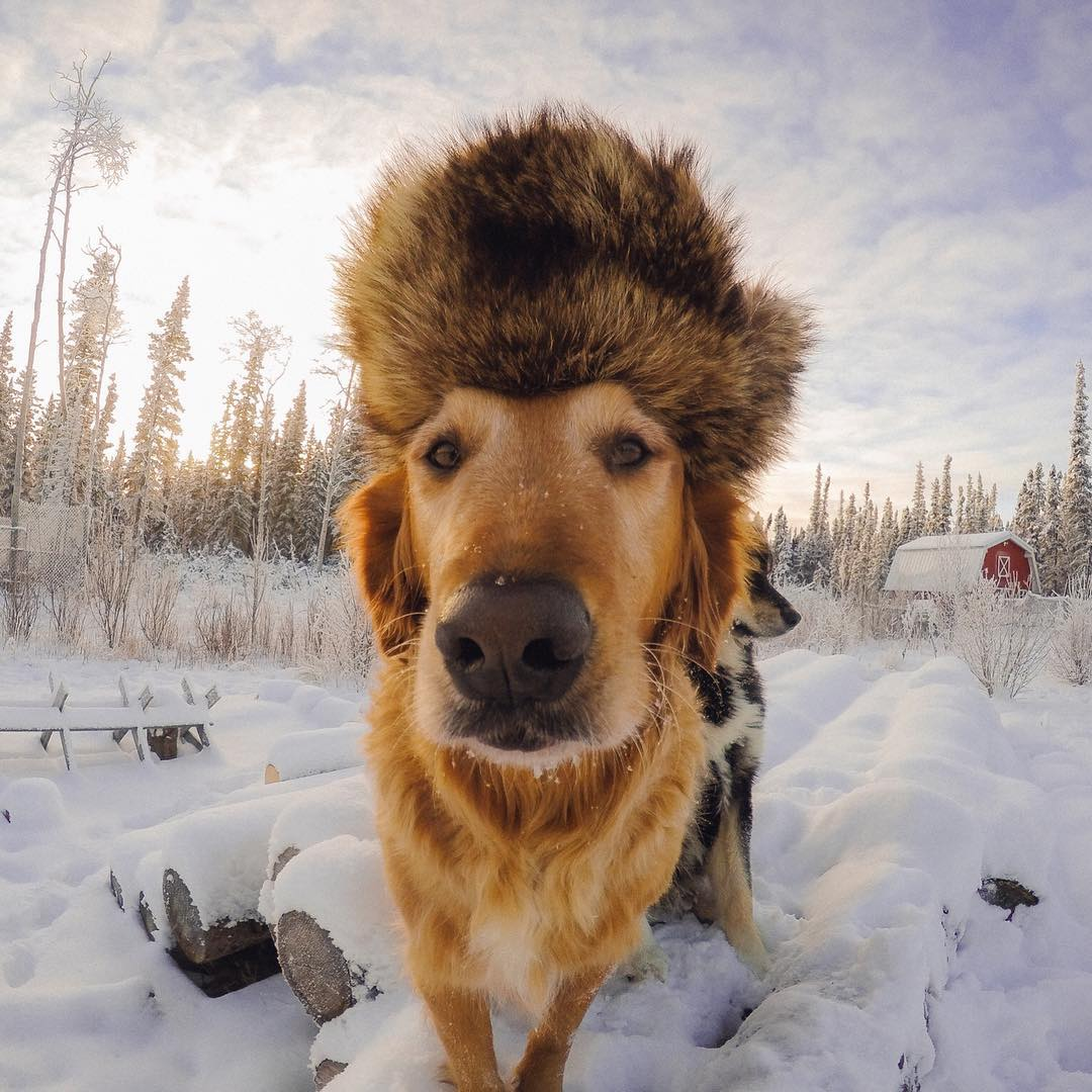 Photo of the Day! Sir Henry looking very regal as he surveys his domain while wearing his awesome hat. Share your powerful pups with us via #GoProAwards link in our bio. #