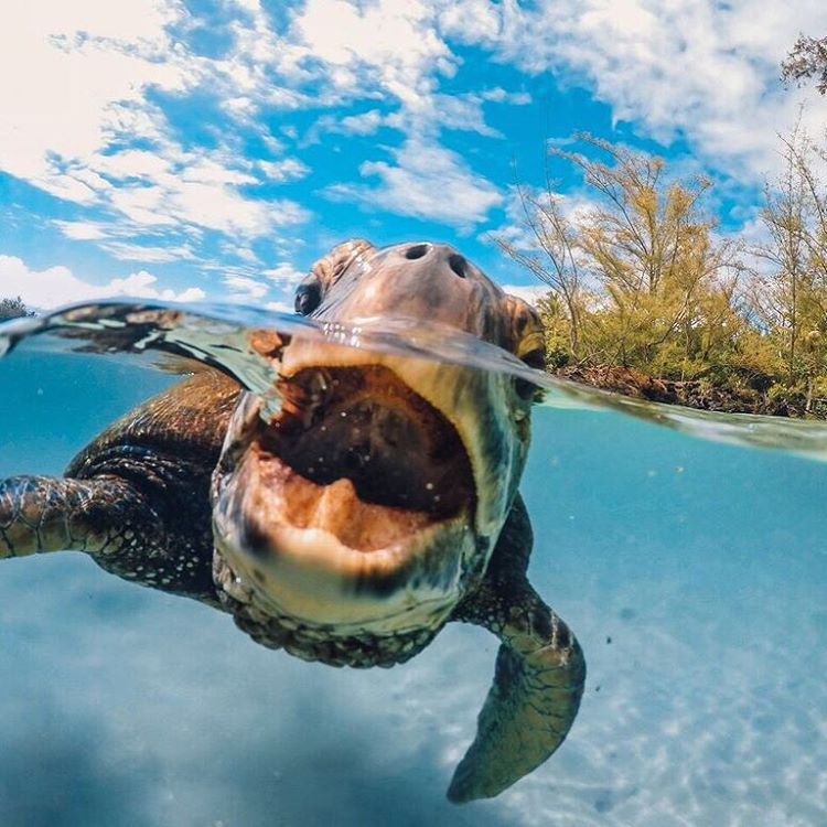 Best of 2015: #3  Lay off me, I'm starving!  It was a close encounter for #GoProAwards recipient @itsm3t4d. No surprise this Hawaiian #Honu made it into the Top 10 of the year. Think you can top this? Share your best at gopro.com/awards. #HungryHonu...