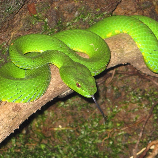 The Pit Viper can grow up to 3.56m or 12ft in length. #cuipo #saverainforest
