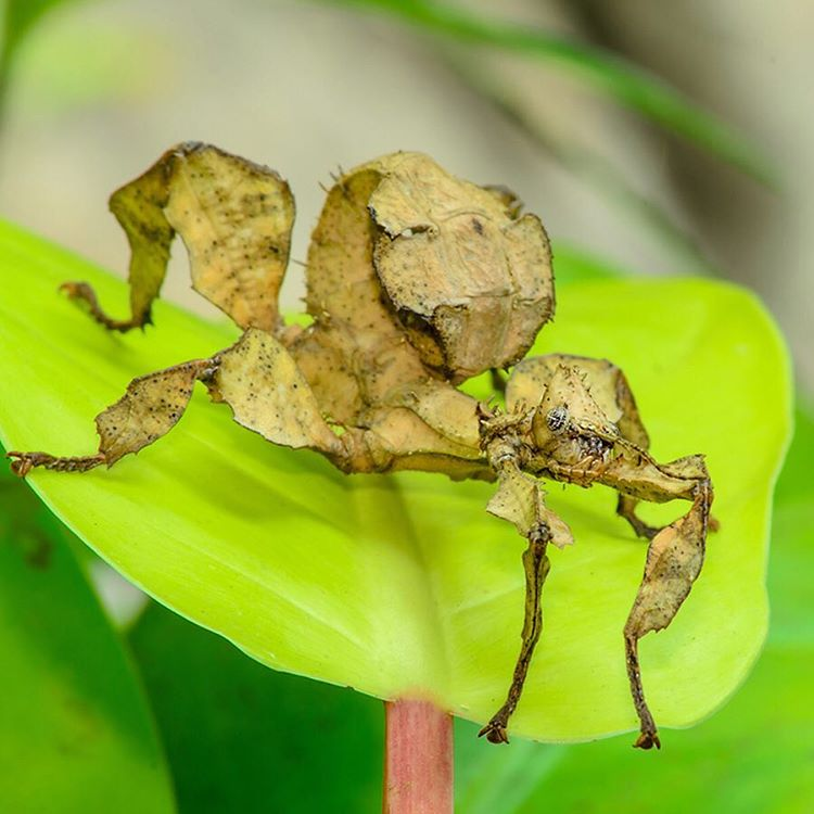 No, this isn't an old potato chip. It's a Spiny Leaf Insect that is a master of disguise. Their sharp spines, flat legs, and coloring all help them camouflage in the trees from hungry predators. #WildlifeWednesday #SpinyLeaf #insect #Cuipo...