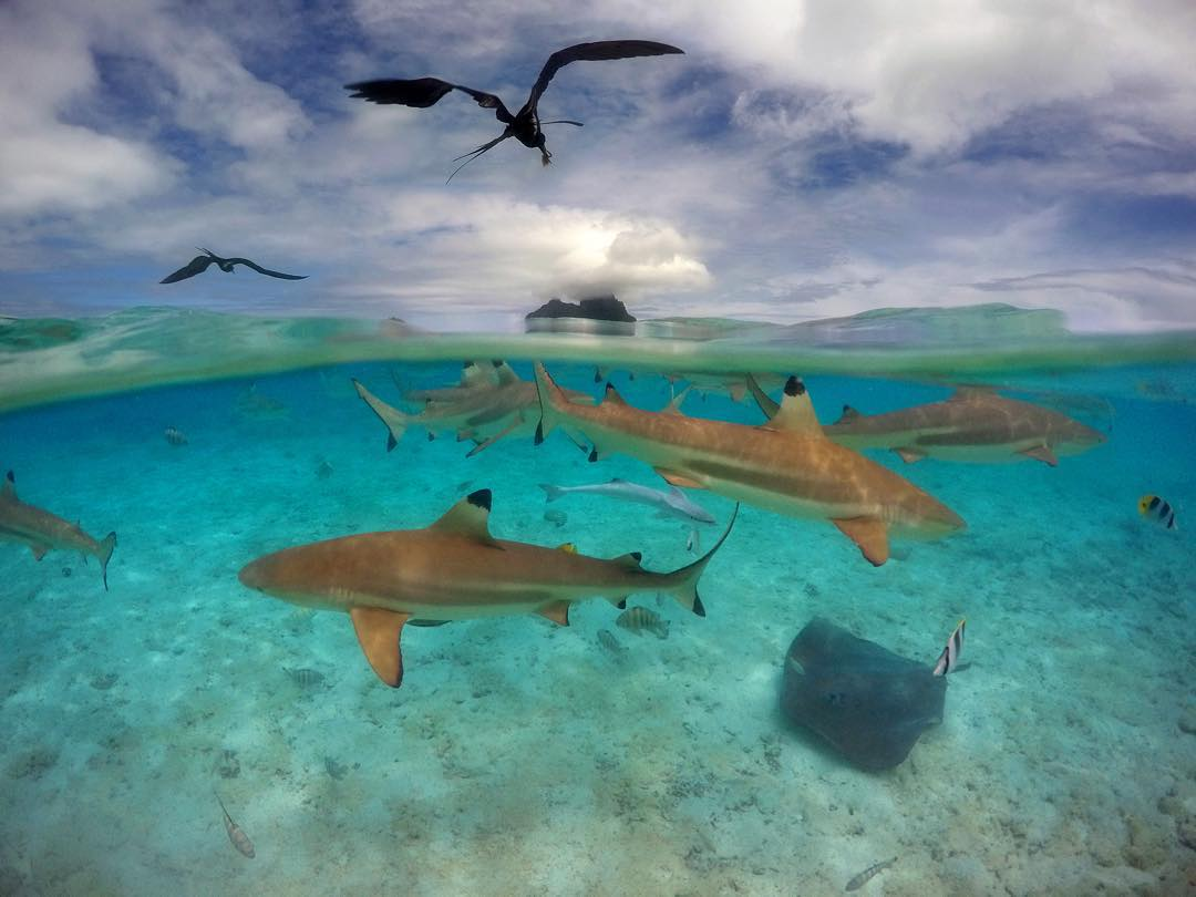 GoPro Featured Photographer - @donaldmiralle  About the Shot: Black Tip sharks, rays, frigates and other animals circle with in the barrier reef during the Ironman KXT Liquid Festival in #BoraBora on December 9, 2015. Some of the world's greatest water...