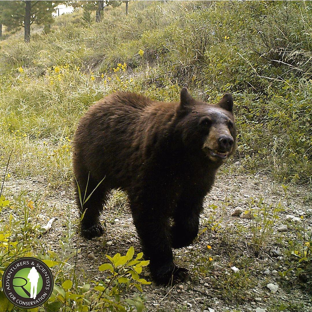 Our Landmark crew caught this black bear on camera this summer, and according to @americanprairie, it's the first documented evidence of bears in the area. #adventurescience #cameratraptuesday #smiling