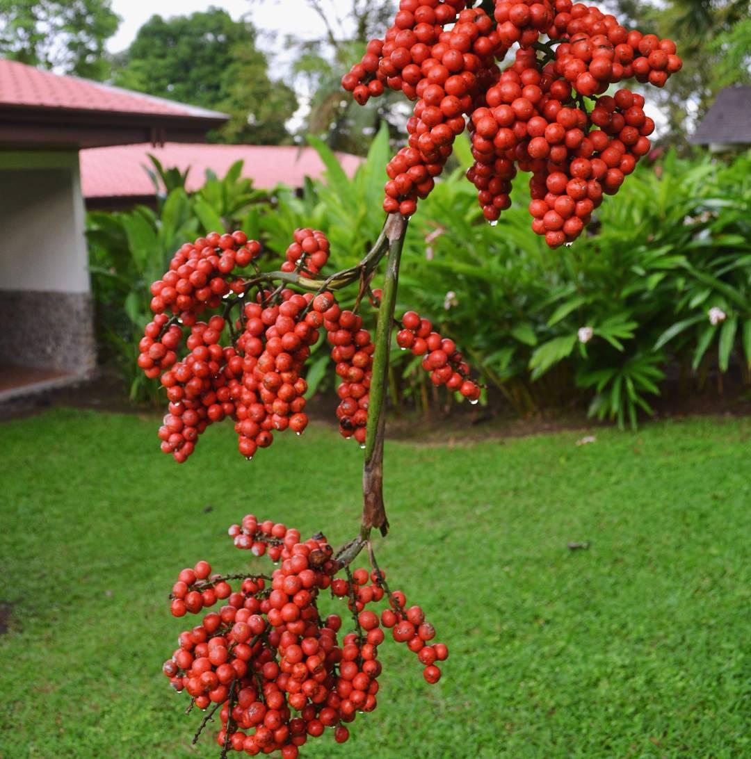 Fruto de palmera. Pero me gusto mucho mas el constraste de rojo con el fondo verde.  #all_my_own #palmera #rojoyverde #rojo #verde #naturaleza #creacion #descubrecostarica #nikkon #d3100 #ig_costarica #descubrecostarica #arenal #flora #ig_flowers_world...