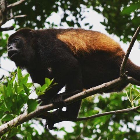 El famoso mono aullador, el cual es audible a 8 km de distancia como advertencia a otros grupos familiares de su territorio. #all_my_own #animalplanet #animal #monkey #monoaullador #aullido #descubrecostarica #ig_costarica #costarica #tamarindo...