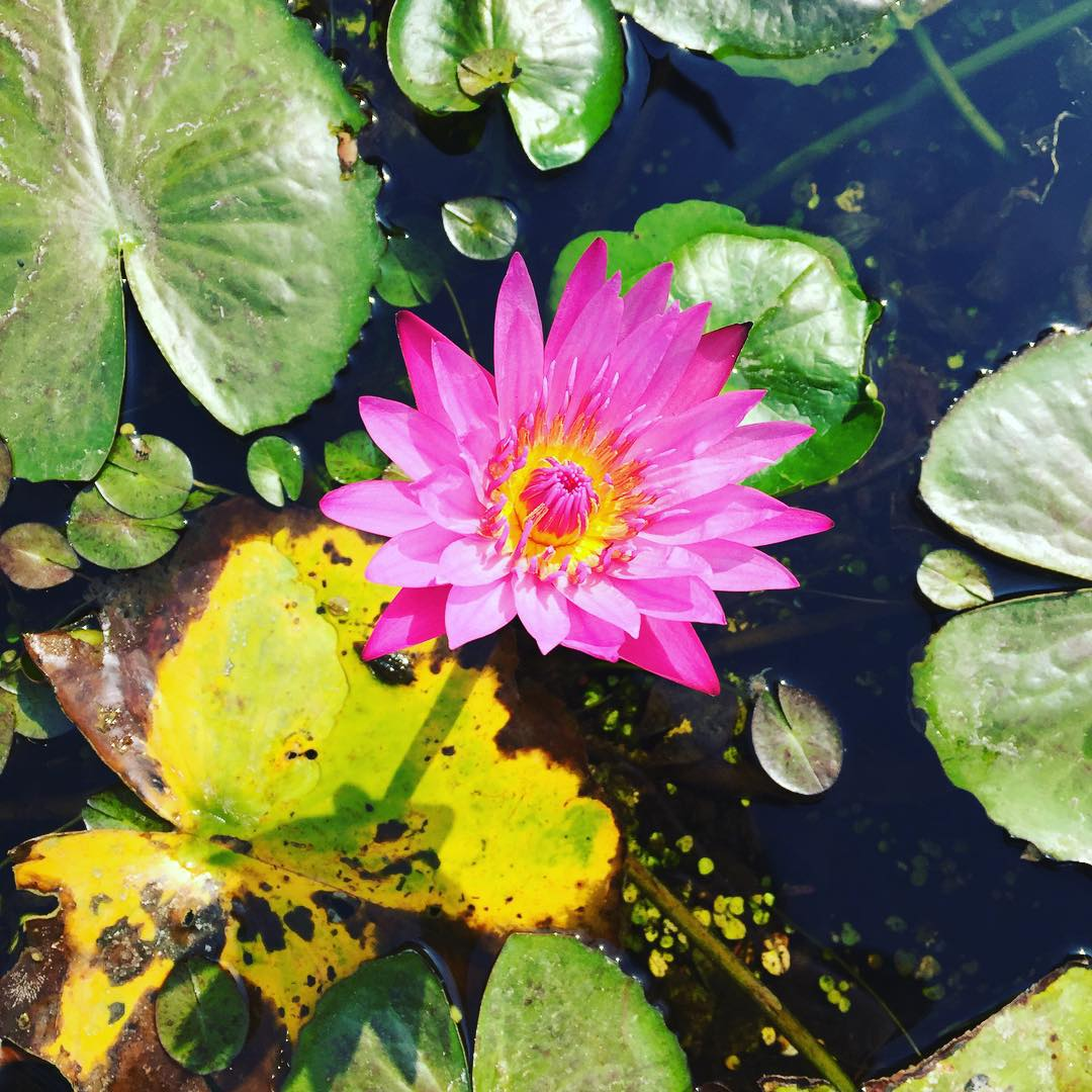 Abiertamente hermosa! #florecequenoespoco #flower #trippingmood #benga #loto