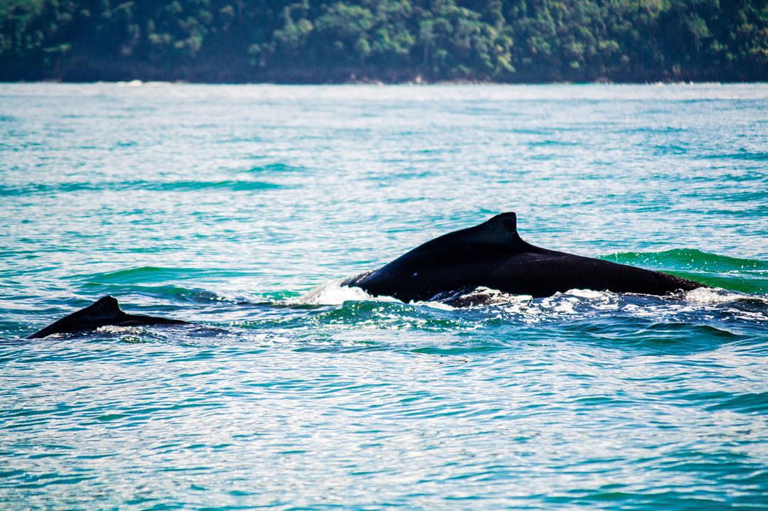 The Northern Humpback Whales are back in Marino Ballena National Park! Take advantage and check these magic creatures out on a whale watching tour here in Bahia Ballena!
