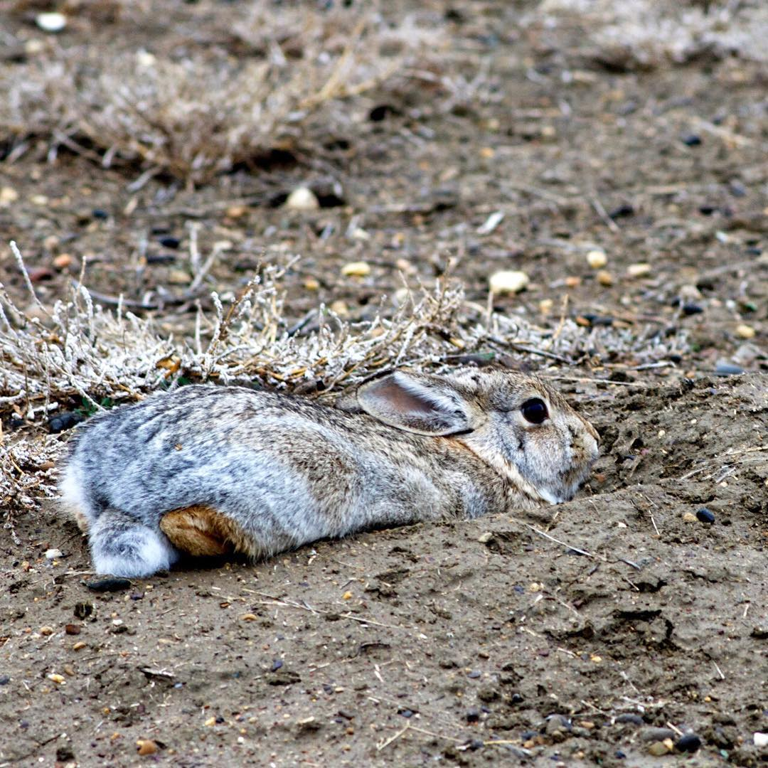 A cottontail on the American Prairie Reserve ( @americanprairie ) tries to hide at the entrance of a prairie dog burrow.  Photo: ASC Landmark crew member, Becky Fitzpatrick #ASClandmark #bunny #prairie #theycan'tseeme