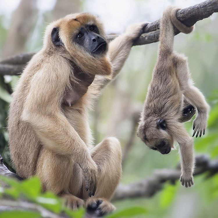 When you're ready to go home but your friend doesn't want to leave. #Cuipo #SaveRainforest #HowlerMonkeys #WildlifeWednesday