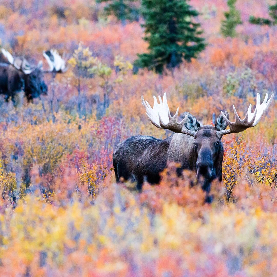 Throwback to fall when Brian Luenemann @quietalaskaimages captured these bull moose @denalinps. #throwbackthursday #mooserut #whathappenedtofall @emmyluenemann