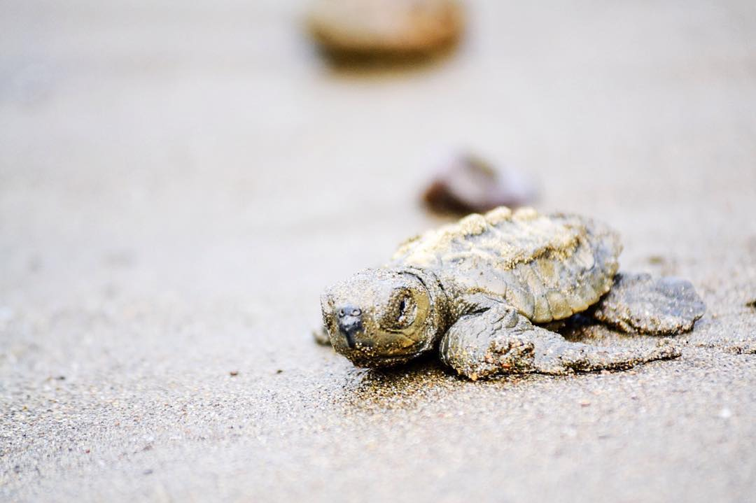 "Did You Know?… ""Sea turtle eggs hatch about two months after being laid. The newly emerged hatchlings venture awkwardly toward the ocean for their first swim, but are vulnerable to predation from several kinds of birds, mammals, lizards, and fish...."