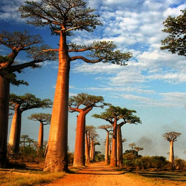 The Baobab trees of Madagascar. #trees #cuipo #saverainforest #stopthechop