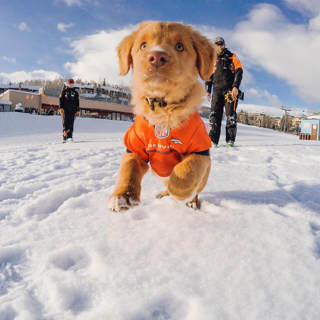 Hatchet the @aspensnowmass rescue pup is ready for the big game!  Share your #SuperBowlSunday plans with us via the #GoProAwards link in our bio. #GoPro #GoProSnow #CARvsDEN