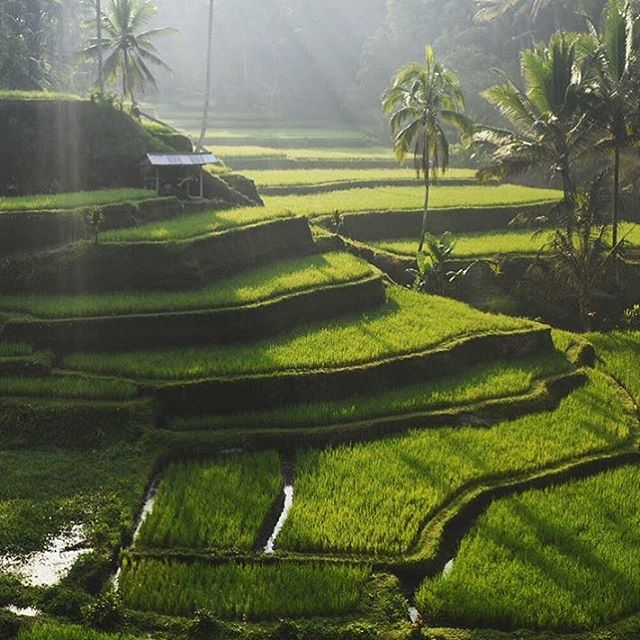 Visiting the rice terraces outside Ubud before sunrise was the only way to explore them.