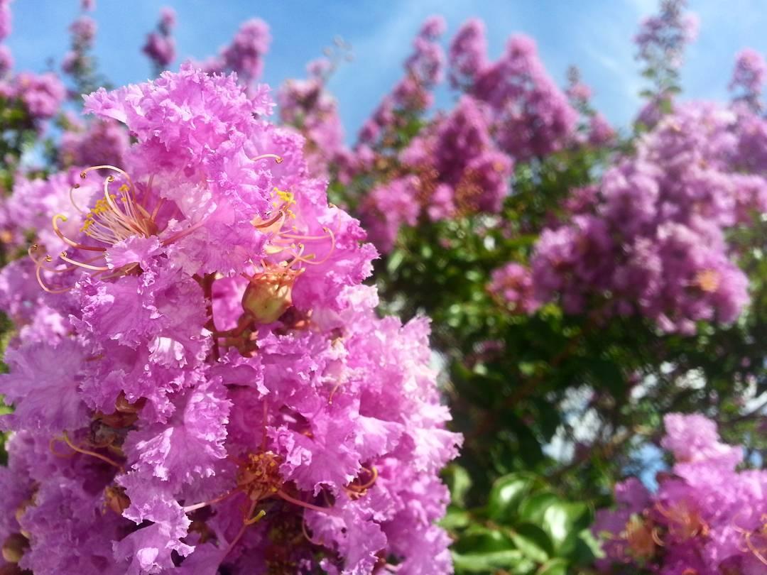 """""""Si estamos demasiado ocupados en encontrar un sentido, no dejamos actuar a la naturaleza y nos volvemos incapaces de leer las señales..."""" #maktub #paulocoelho #ligustremia #flores #fiore #flower #nature #summer #terraza"""