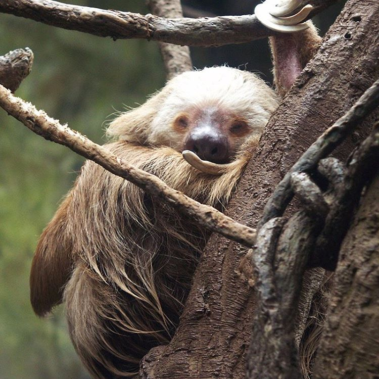 In case this is how you're feeling today, just know that you're not alone! #Cuipo #SaveRainforest #PartyAnimal #SuperBowl50 #SuperbowlSunday #Slothlife