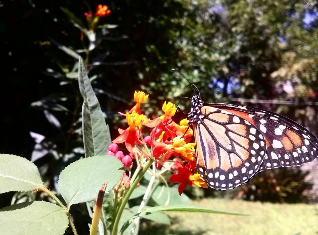 La monarca. #nature #butterfly #farfalla #mariposa #monarca #instanature