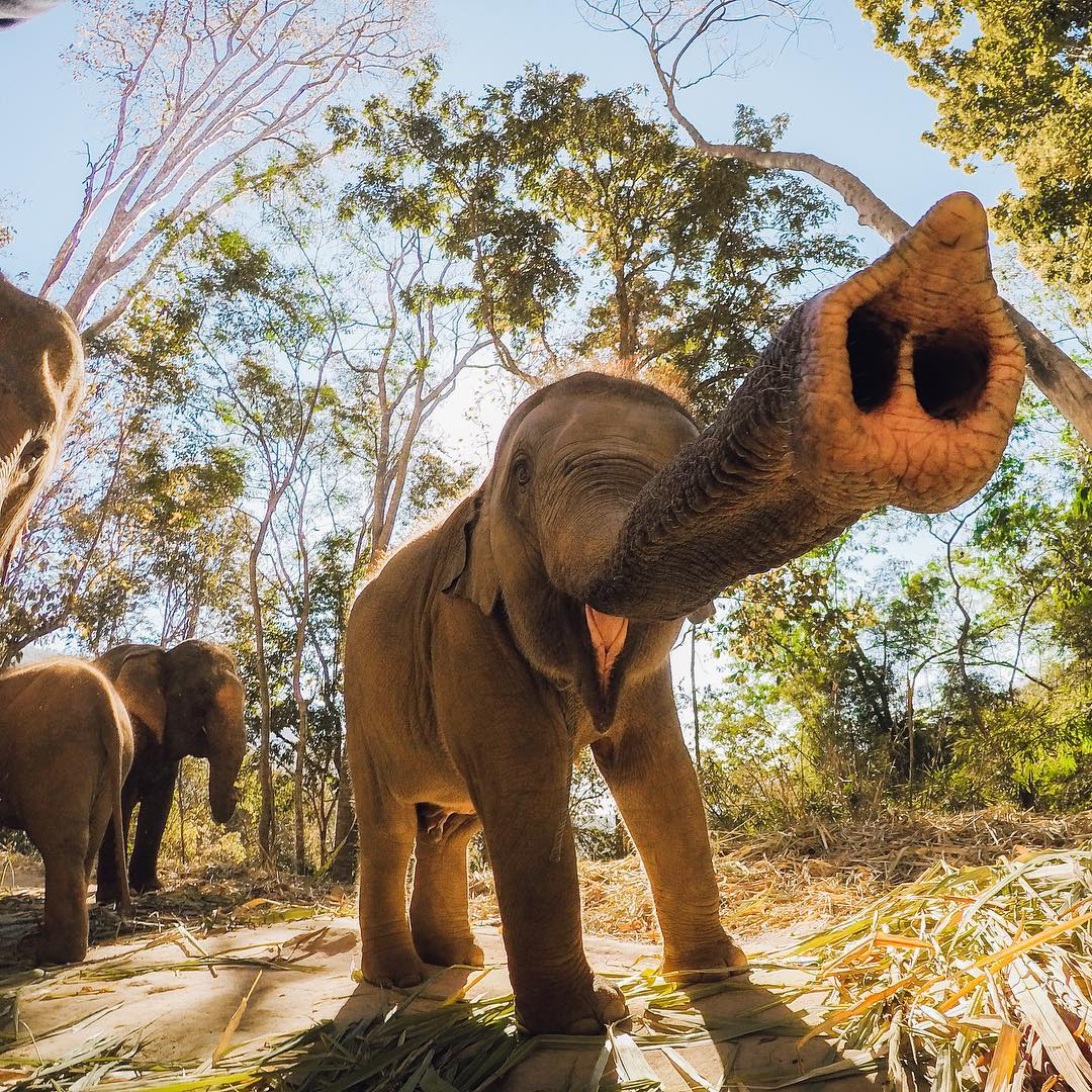 Photo of the Day! Someone was happy to sniff out the #GoPro! Rescued elephants in Thailand come up close to say hello to Josiah Klakulak. Love animals? Show us how via #GoProAwards link in our bio. #GoProTravel #