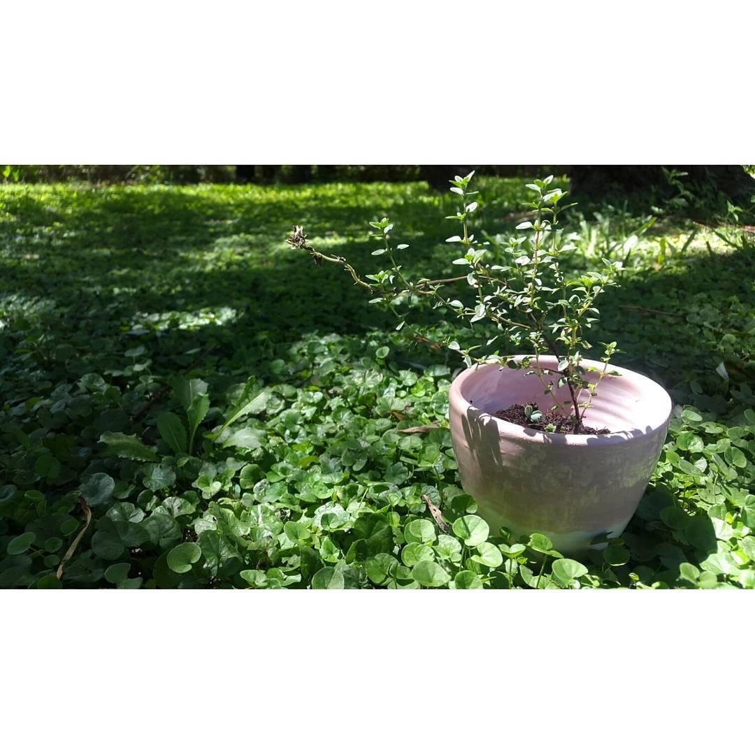 Nos encanta ver crecer en nuestras macetas de #casamambo.  Disponibles en @junta_monton  y en www.mambomambo.com.ar.