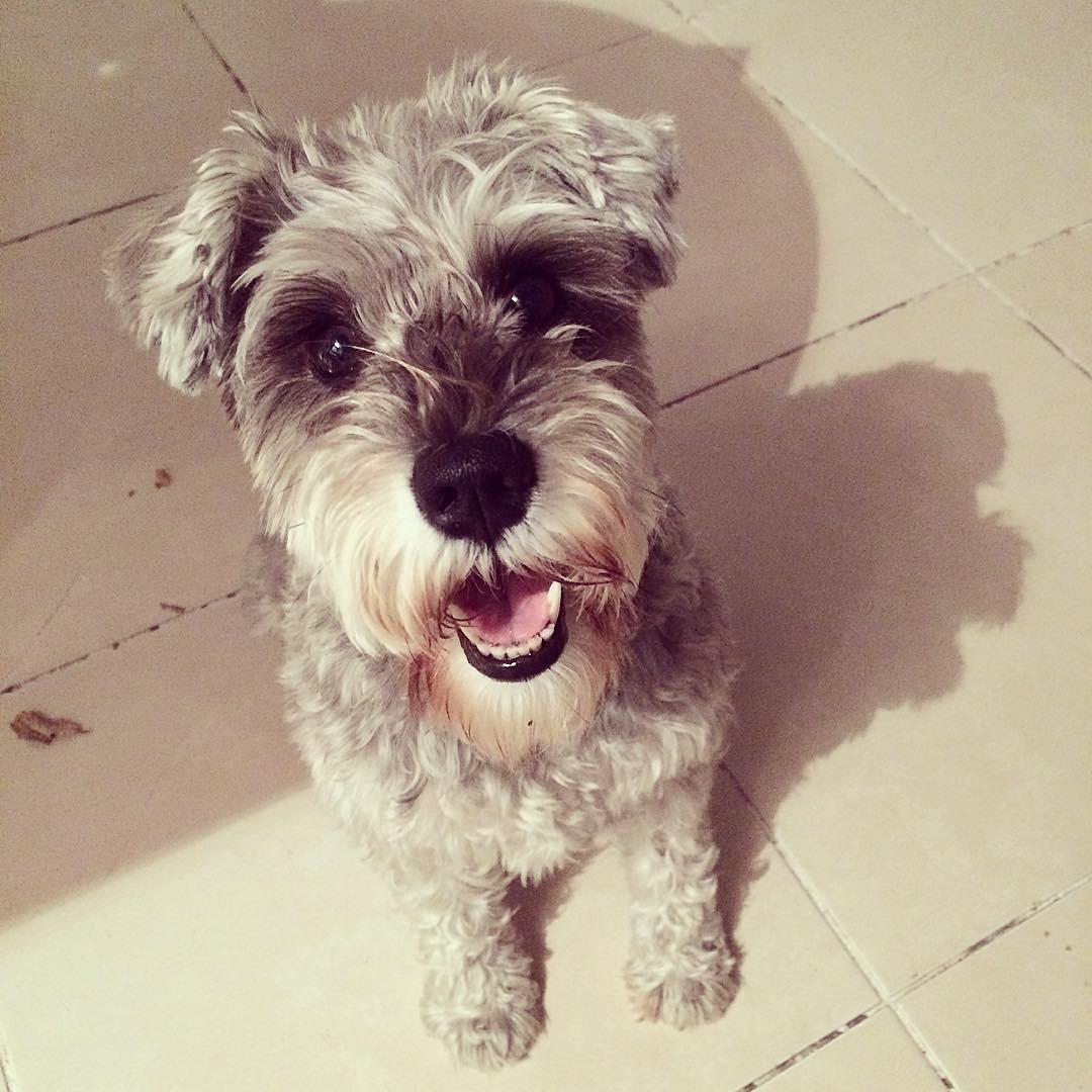 #dru #dog #amorpuro #minishnauzer @ohmydogmag :)