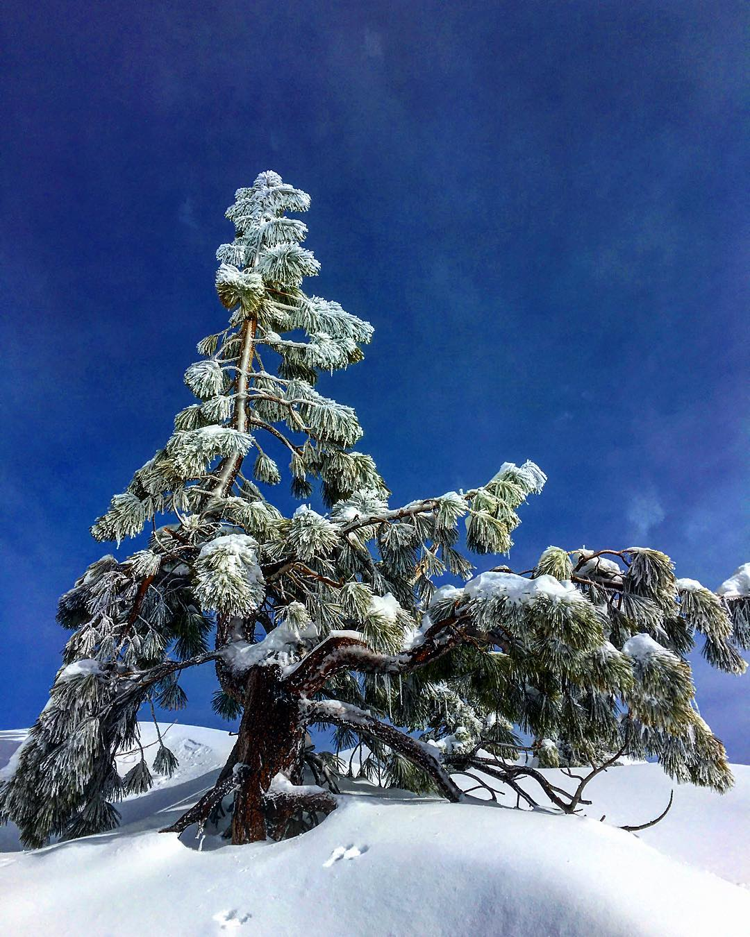 Tahoe trees. #inspiredbynature #drivenbydesign #risedesigns #risedesignstahoe #tahoebackcountry