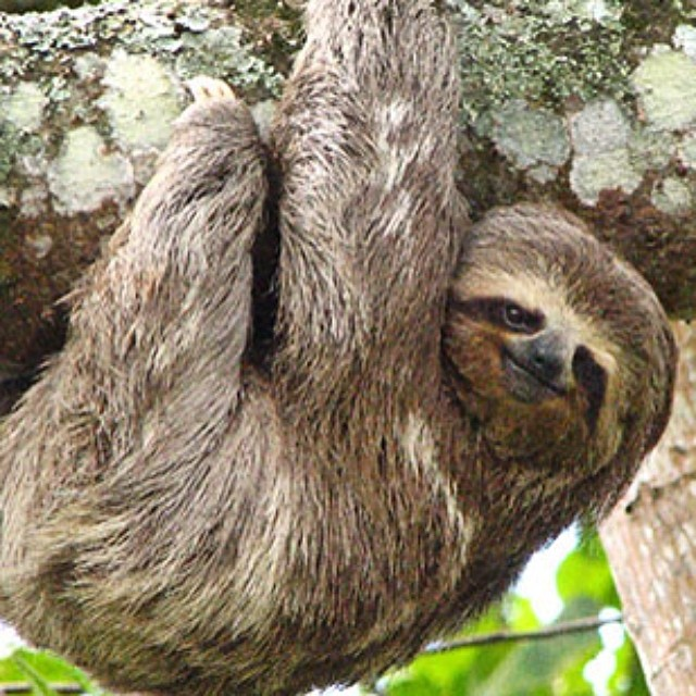 Oh hello.... Happy sloth sunday. #sloth #slothsunday #sunday #cuipo #saverainforest