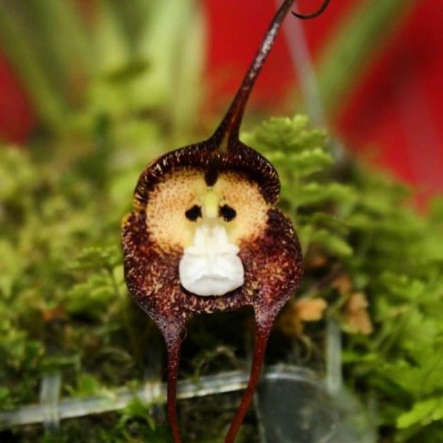 Why so sad monkey orchid? #saverainforest #cuipo