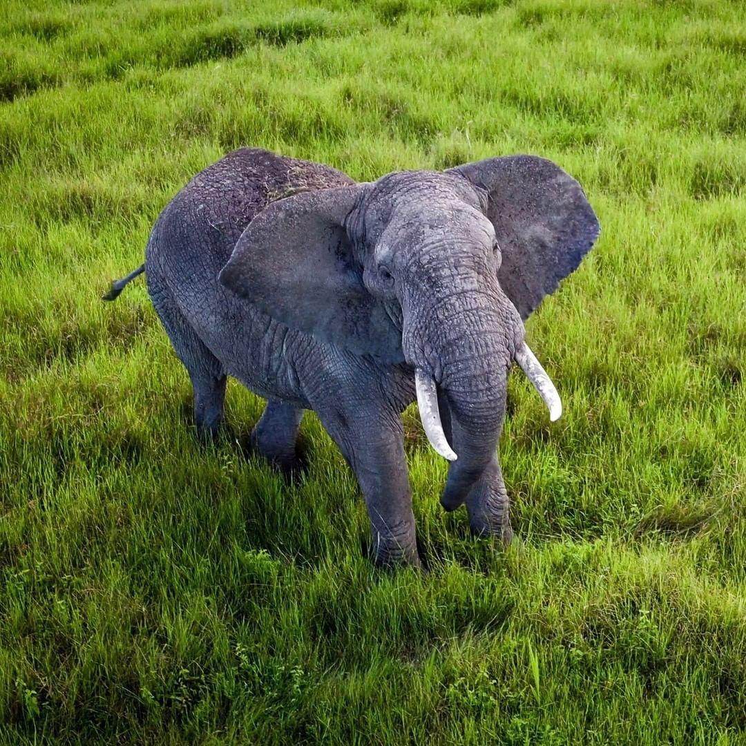 Wildlife of Tanzania's Ngorongoro Center  Credit: Ferdinand Wolf | #DJI #Inspire1 Pro X5R  @goodmorningamerica #GMAinAfrica #GardenofEden