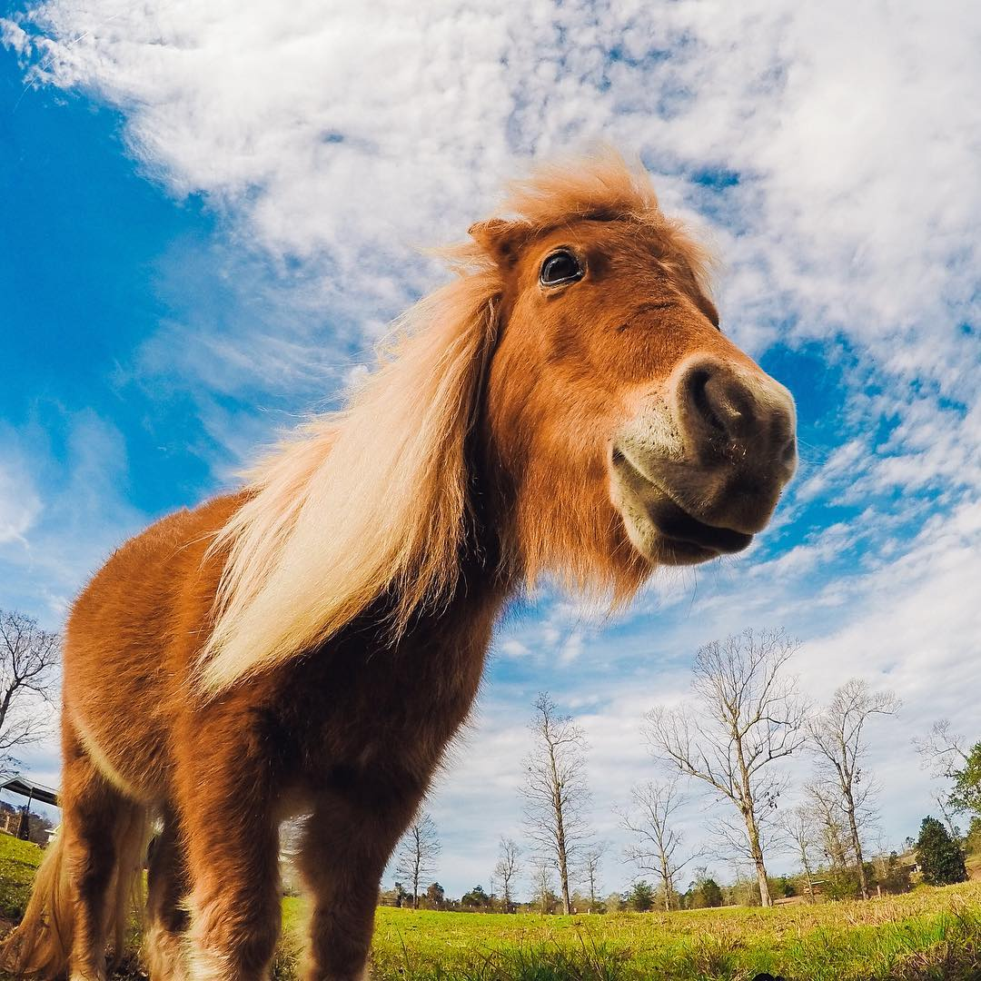 Charley the mini horse is the only kind of Charley Horse that we like!  Thanks to @joycecherrier for helping put a smile on our faces on this #humpday! Share your furry friends with us via #GoProAwards link in our bio. #GoPro #