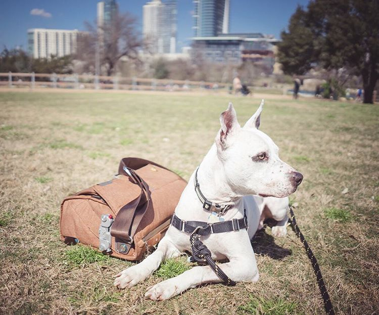 Used The Everyday Messenger as a doggy bag this weekend. We loved it. Buddy Franklin loved it too, but then he saw a squirrel.  #theeverydaymessenger #peakdesign #buddyfranklin
