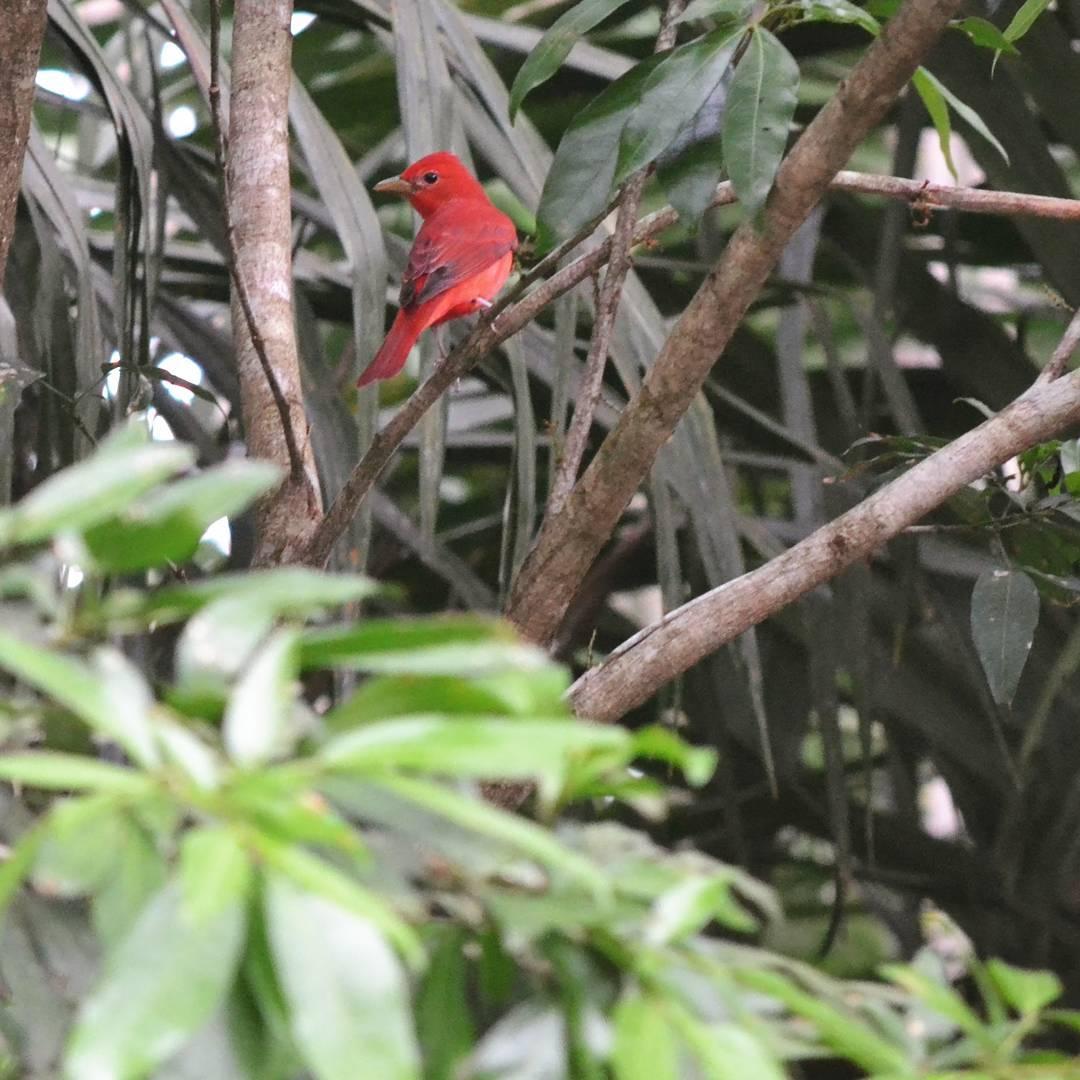 Camuflaje: a marzo! #all_my_own #agean_fotografia #agean_animals #big_shotz #camuflaje #naturaleza #descubrecostarica #nikon #d3100 #costarica #alajuela #arenal #estaes_animal #creacion #rojo #constraste #live_planet #aves #pajaro #fotografia...