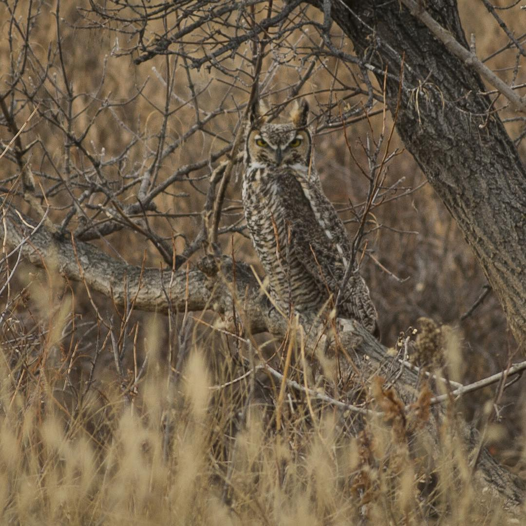 Data doesn't have to be boring. This #greathornedowl observed by an #ASCLandmark crew, along with a digital data sheet, will be added to 3 yrs worth of #wildlife monitoring data on the @americanprairie reserve. #adventurescience  Photo: Eli Allan...