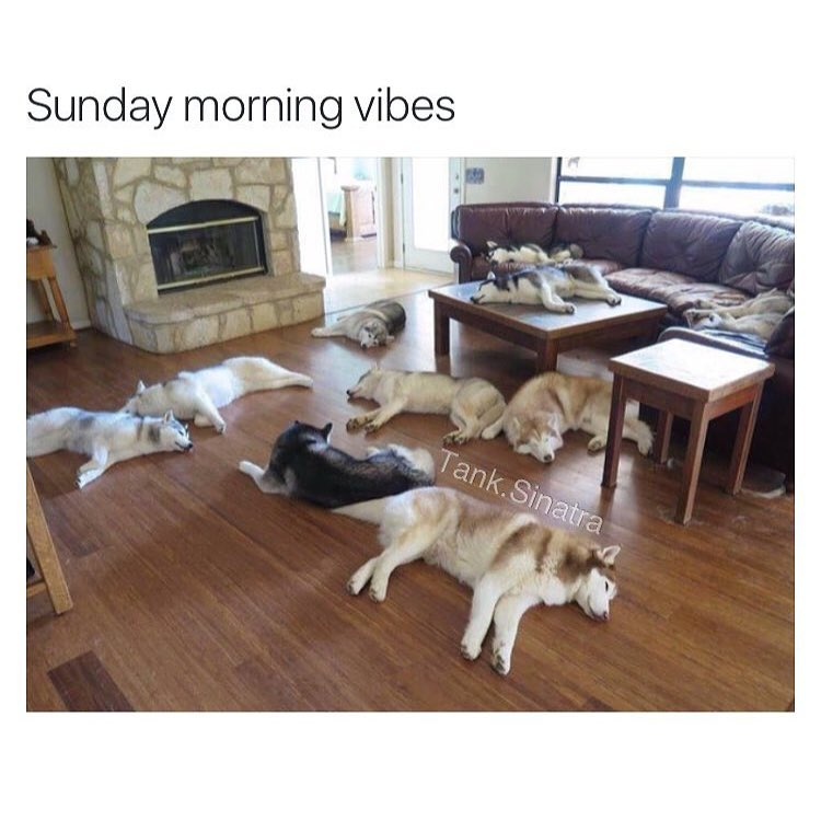 I can relate to this. #sundaymorning #sleepsohard #siberianhusky Regram from @Tank.Sinatra