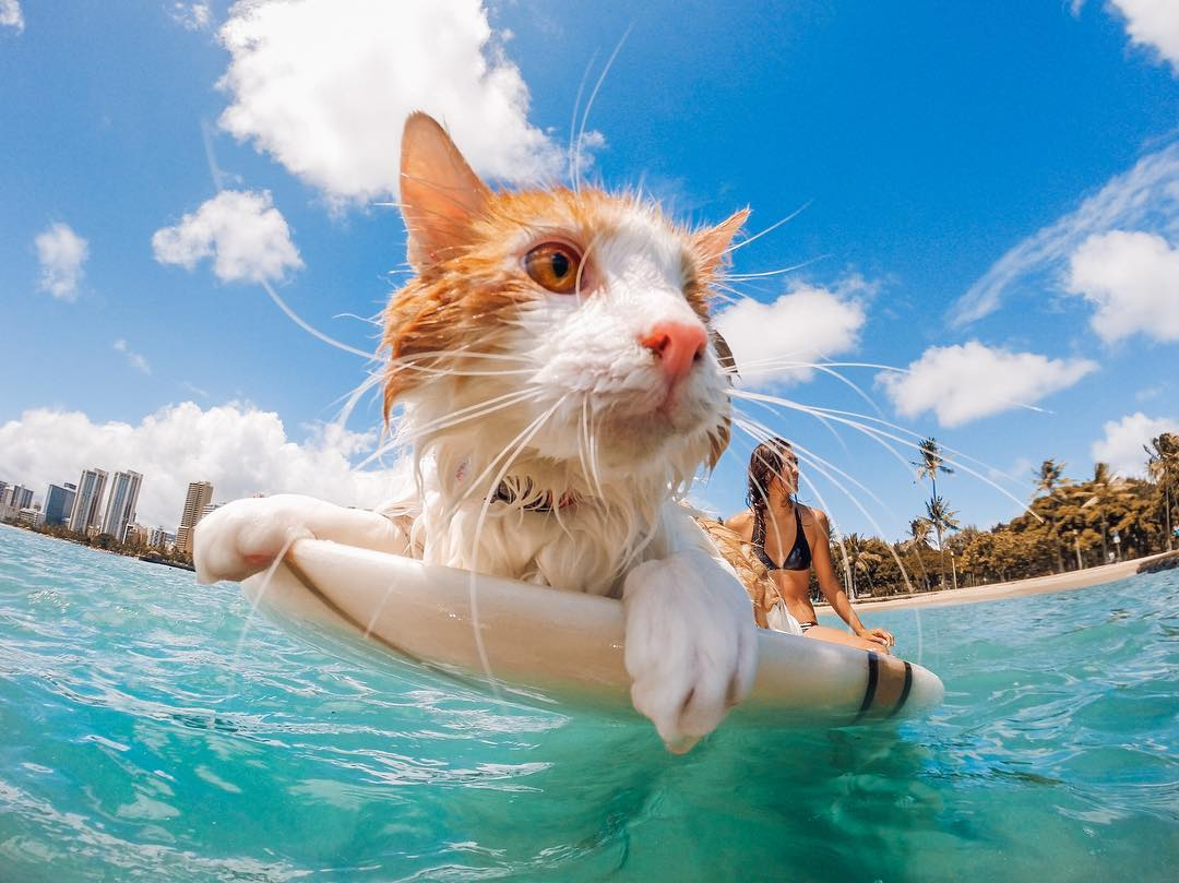 Photo of the Day! @KuliTheSurfingCat is a one-eyed adventure-seeking feline named Nānākuli living in Honolulu.  His owner @proantagonist and favorite photographer @kriista named him after the small town where he was found, and call him Kuli for short...