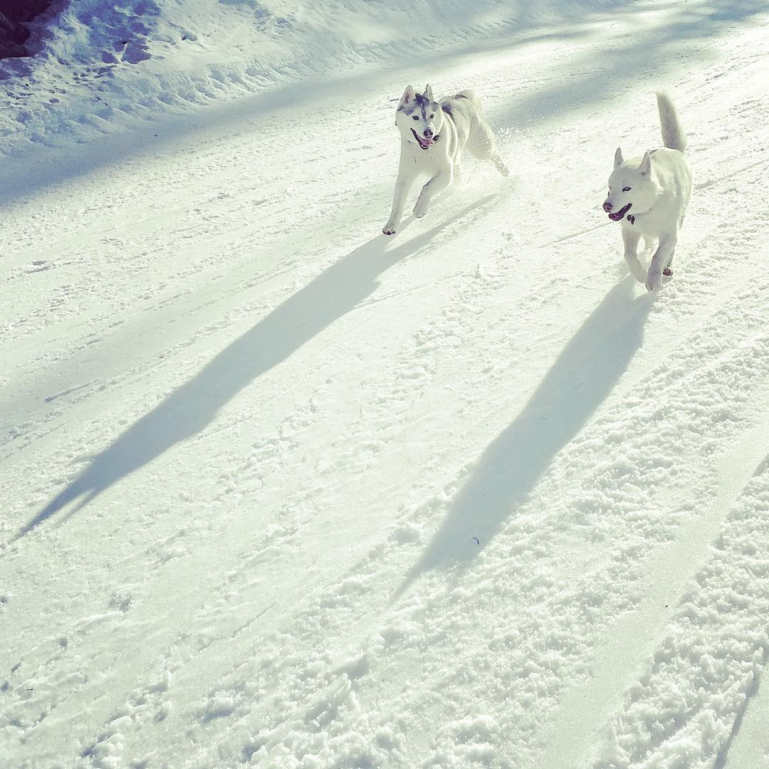 Caught this shot of our two fur beasts in full sprint yesterday on a hike up in the #ParkCity mountains. #maxattack #AWDFTW #siberianhusky #BentleyChickenFingersBlock #YukiTheDestroyer