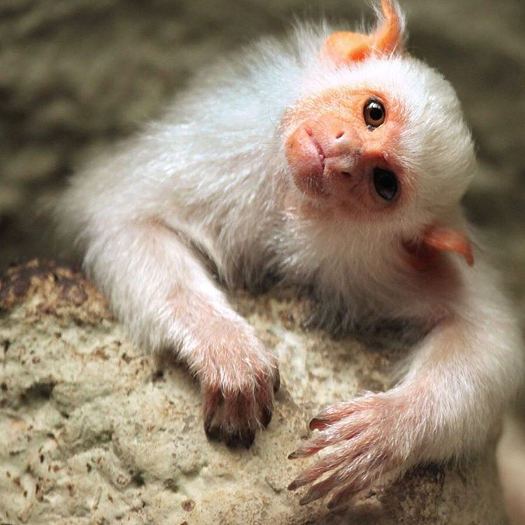 The silvery #marmoset is a tiny monkey native to #Brazil and found in jungles surrounding the #AmazonRiver. They live together in small groups, and typically isolate themselves from other species of #marmosets. #Cuipo #SaveRainforest #MonkeySee...