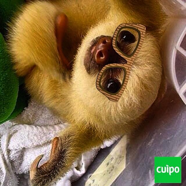 Sloth sunday. #nerds #sloth #slothsunday #cuipo #saverainforest