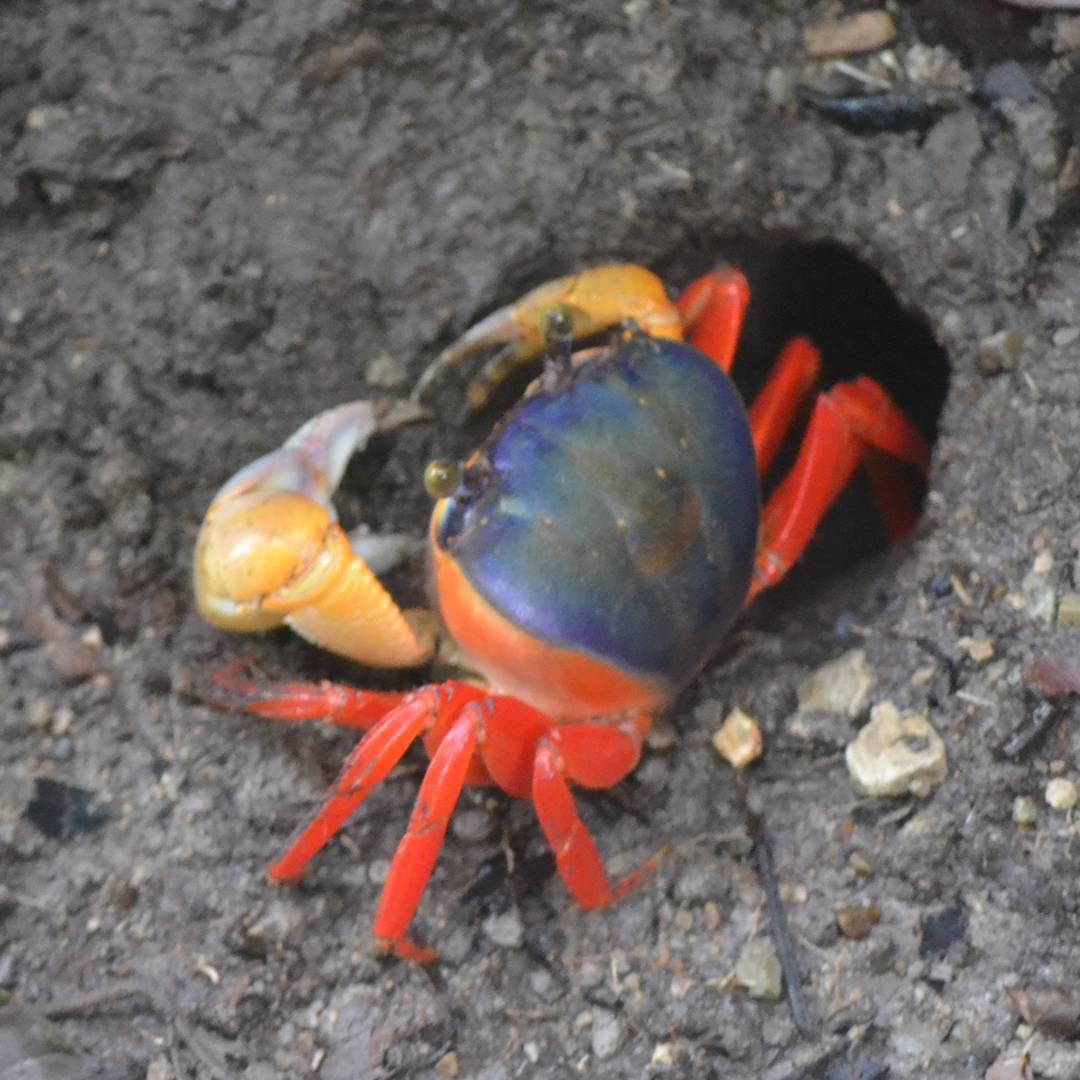Tipico cangrejo que se aprecia dentro del Parque Nacional Manuel Antonio, en Costa Rica, con sus extremidades tan llamativas que es imposible no sacarle una foto! #all_my_own #agean_fotografia #agean_animals #cangrejo #rojo #manuelantonio...