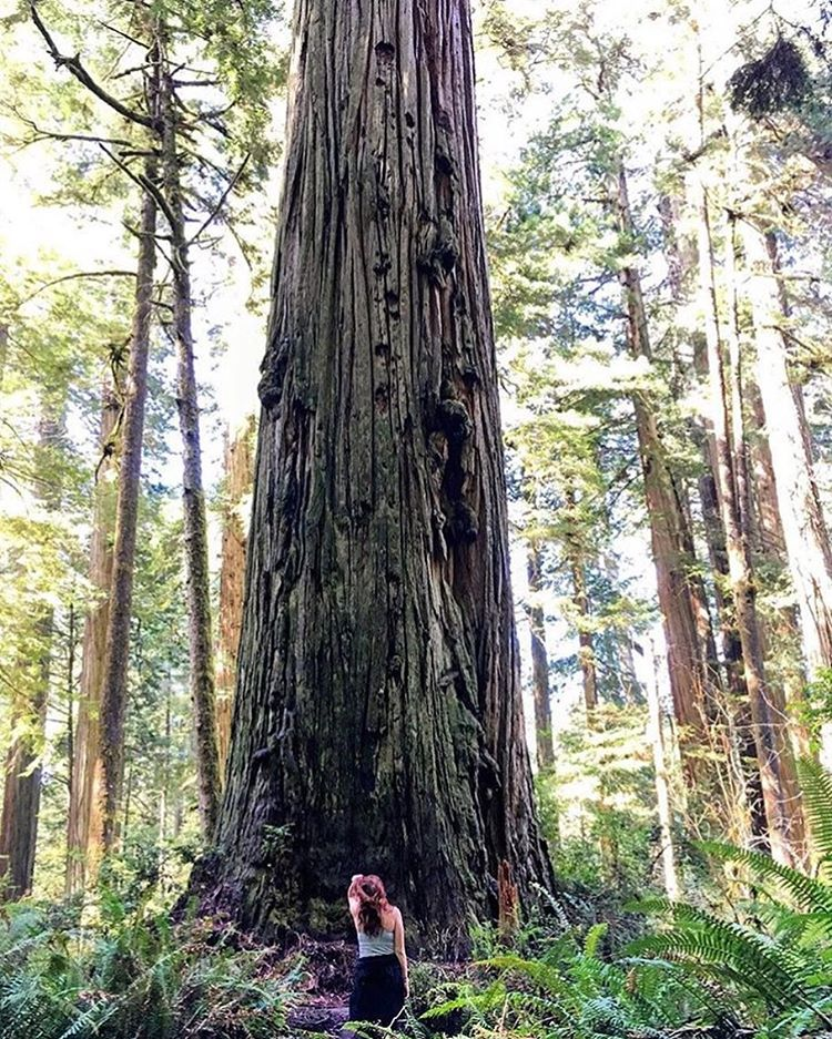 ¡ G I G A N T E ! It puts time into perspective when you're next to a 2000 year-old giant redwood #radparks #redwoods #norcal