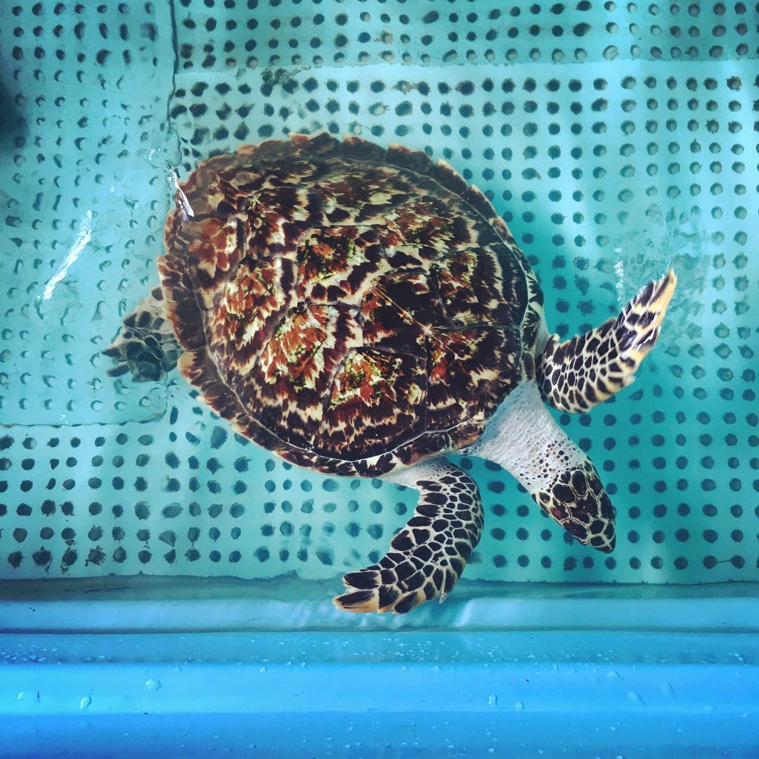 Sea turtles have been around for over 100 million years. However, just in the last few hundred, these ancient animals are facing rapid rates of endangerment and possible extinction due to human activities. Here on #PramukaIsland, the local community...